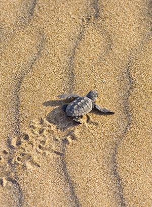 Zakynthos: caretta caretta schildpad