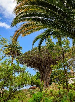 Bezienswaardigheden Tenerife: Drakenboom