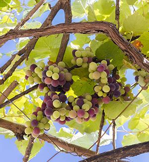 Vakantie Chalkidiki wijn