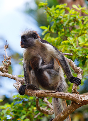 Doen op Zanzibar: apen spotten