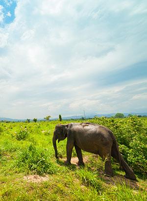 Sri Lanka olifanten