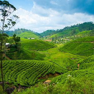 Sri Lanka: thee