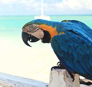 Caribische eilanden: papegaai