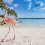 Zonnen tussen de roze flamingo's op Aruba