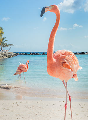 Roze flamingo's Aruba: Flamingo Beach