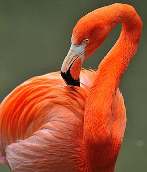 Doen op Bonaire, Gotomeer flamingo