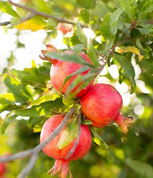 Leuke weetjes Side (Turkije): granaatappel