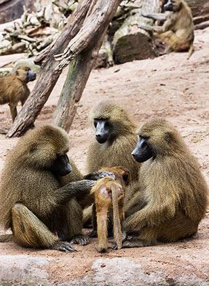 Gambia met kinderen: apen