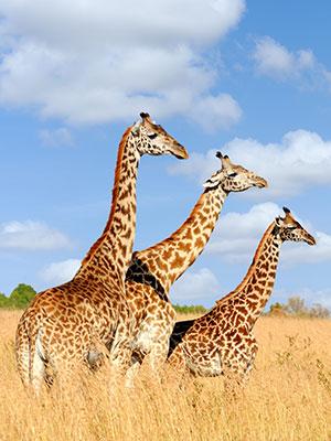 Kust van Kenia, giraf