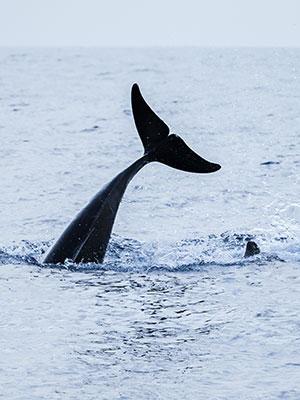 Walvissen en dolfijnen spotten Madeira, walvis