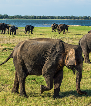 Nationale parken Sri Lanka, Minneriya National Park