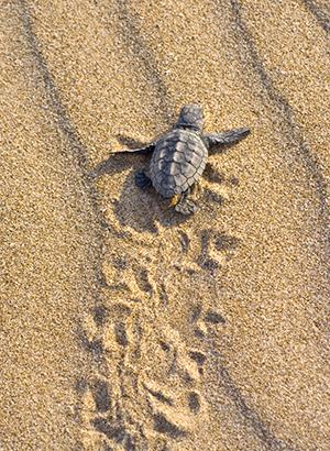 Zeeschildpadden spotten Zakynthos, Caretta caretta