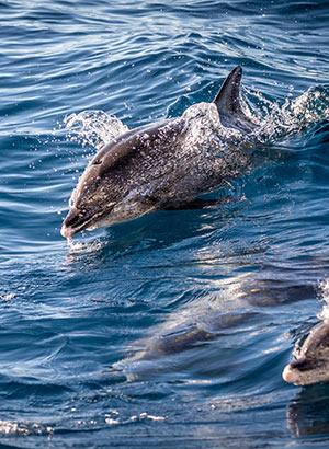 Dagtrips & excursies Gran Canaria: dolfijnen