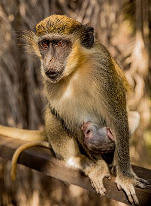 Doen in Gambia: aapjes spotten