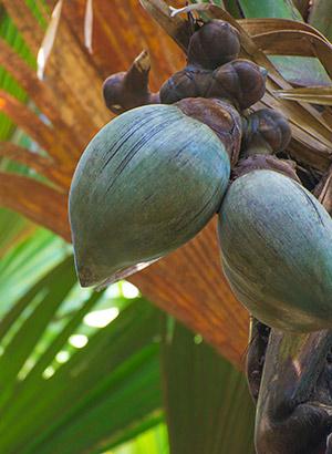 Redenen Seychellen bucketlist: Coco de Mer