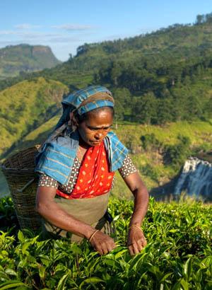Natuur Sri Lanka; Theeplantages