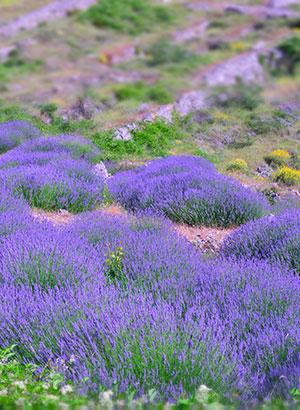Doen op Hvar, Kroatië: lavendel