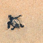 Schildpadden spotten in Kaapverdië