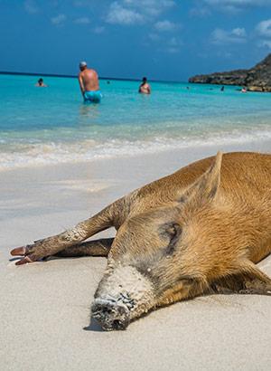 Weetjes curaçao, varkens