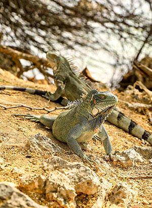 Dieren Curaçao Leguanen