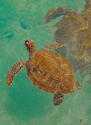 Dieren Curaçao: schildpadden